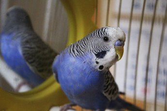Grooming Parakeets