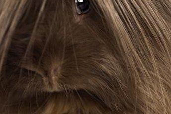 Introducing your dog to a guinea pig requires care and patience.