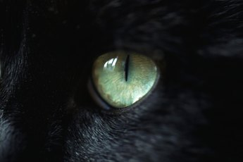 Cat Eyesight After Hyperthyroidism