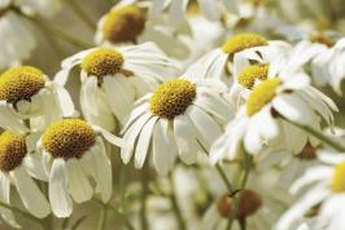 Chewing on a chamomile plant or flower isn't good for your cat.