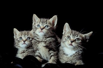 Can Kittens Be Twins?