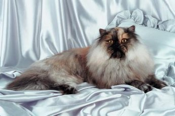 Long- and short-haired cats can get matted hair and require shaving.