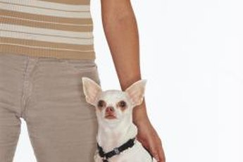 Harnesses are safer and more comfortable for Chihuahuas.