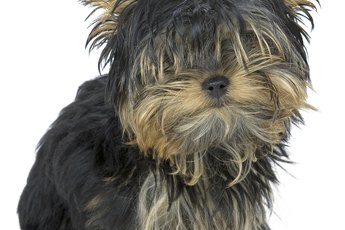 How to Take Care of a Yorkie Poo