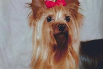 The traditional long Yorkie cut can be difficult to manage.