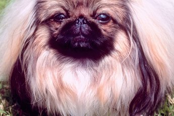 Pekingese Eye Discharge