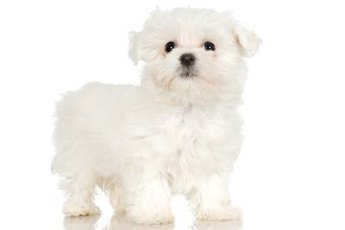 A puppy cut looks just as adorable on an adult Maltese as on a puppy.