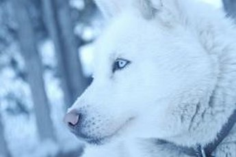 Bred for the arctic, Siberian huskies can live almost anywhere, but need special consideration when elderly.