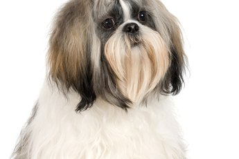 Hairstyles for Shih Tzu Dogs