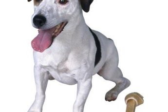 Jack Russell terriers are known picky eaters.
