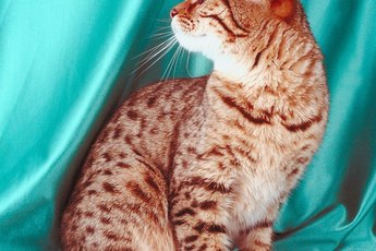 Types of Show Bengal Cats