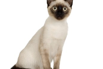 What Age Are Siamese Cats Expected to Live?