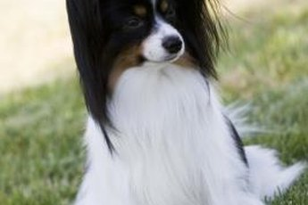 A papillon is recognizable by his furry ears.