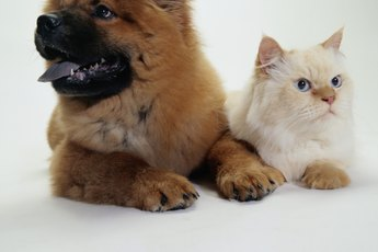 How to Introduce Older Big Puppies to a Tiny Kitten