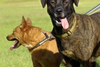 Two or more dogs can easily coexist in the same household with a little training and a lot of exercise and socialization.