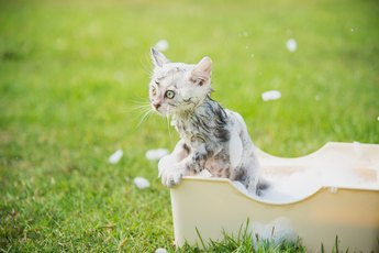 How to Get Rid of Flea Eggs on Cats