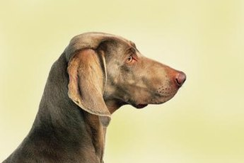 Weimaraners make great family pets, but may attack or kill cats.