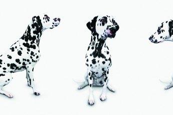 Degenerative Myelopathy & Dalmatians
