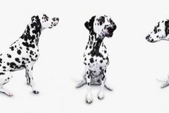 Dalmatians are one of the breeds prone to degenerative myelopathy.