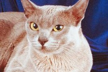 Burmese cats are about medium sized, with a distinct body shape that's rounded yet muscular.