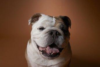 Daily Grooming for an English Bulldog