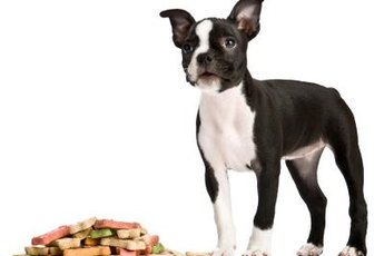 The Boston terrier's curly tail sometimes seems like a little bump on his rear.