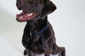 A Benign Cyst on a Labrador