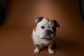 The English bantam bulldog is a miniature version of the bulldog breed.
