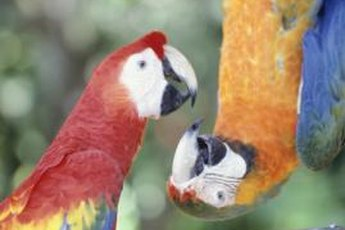 Among hundreds of parrot species, only some sleep upside down.