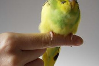 Some varieties of parakeets and budgies are mostly yellow.