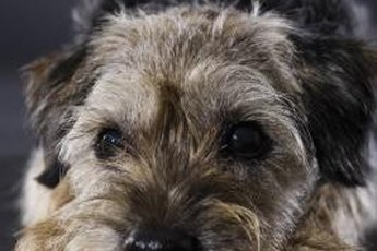 The adorable border terrier's coat doesn't shed out without assistance.