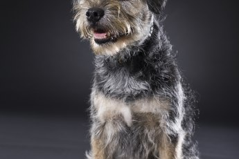 How to Train a Border Terrier to Stand