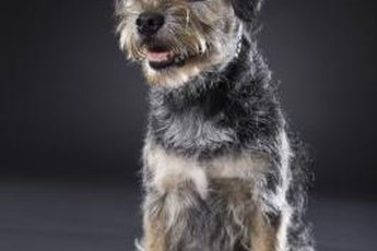 Border terrier puppies usually can learn to live with cats.