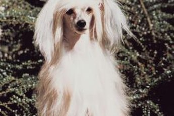 Chinese crested dogs come in hairless and powder puff varieties.