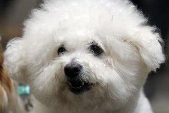 Without regular brushing, a bichon's dense hair will tangle.