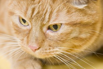 Is Flagyl Effective for Cats?