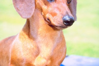 Dachshund Illnesses & Neurological Disorders