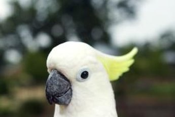 Cockatoos are escape artists, so be sure the cage is secure.