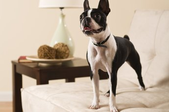 Knee Joint Surgery for Boston Terriers