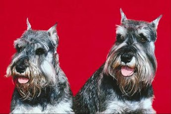 Grooming a schnauzer puppy is the same as grooming an adult.
