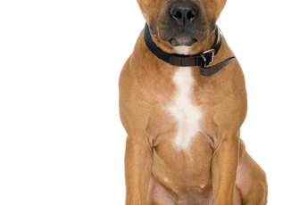 What Does an American Pit Bull Terrier Look Like?