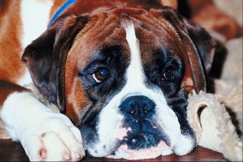 Check your boxer's eyes for ingrown eyelashes or other issues that might make her eyes water.