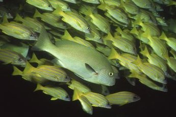 Keep cichlids in crowded tanks so they don't fight each other over territory.