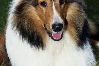 Do Collies Get Degenerative Myelopathy?
