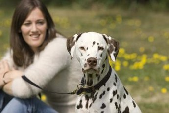 Dalmatians are high-energy companion dogs who require plenty of activity.