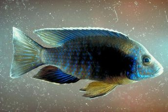 Cichlids about 6 to 8 inches long are a good size for your rainbow shark.