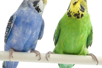Types of Budgie Birds