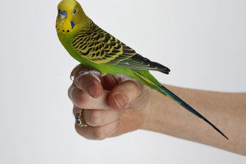 What Does It Mean When a Parakeet Shakes Her Tail?