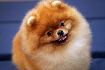Pomeranians of any age are capable of being trained to be obedient or do tricks.