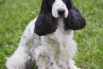 Nature of English Cocker Spaniels